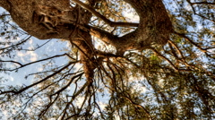 Vertical shot of Tracking time-lapse looking up through an olive tree. - stock footage