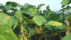 Farmer analyze soybean field 01 - stock footage
