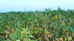 Soya Bean Field 3 Stock Footage
