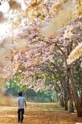 Man walk in to the tree of the genus cassis with pink flowers garden Stock Photos