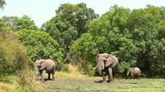 Elephants in Masai Mara - stock footage