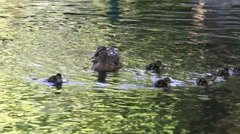 Mother duck with her ducklings swimming in the water on the river Stock Footage