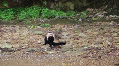 Wild White-Faced Capuchin (Cebus capucinus) eating on the seashore Stock Footage