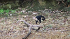 Wild White-Faced Capuchin (Cebus capucinus) walking on the seashore Stock Footage