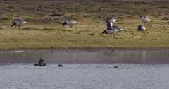 Barnacle Geese Graze Near Pond with Eider Family Stock Footage