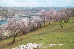 Blooming almond tree - stock photo