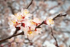 Almond tree pink flowers. - stock photo