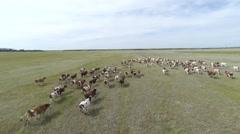 Herd cows Aerials Stock Footage