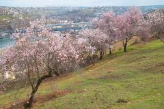 Stock Photo of Blooming almond tree