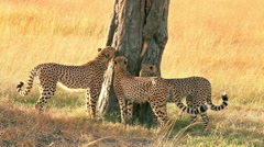 Four cheetahs in Masai Mara Stock Footage