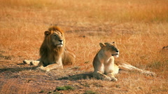 Mating lions in Masai Mara Stock Footage