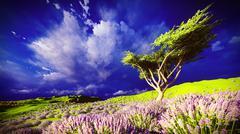 Lavender fields Stock Illustration