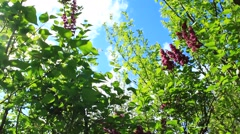 Big bush of beautiful spring lilac Stock Footage
