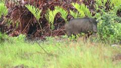 Boar looking for foods, Background of wildlife. - stock footage