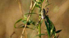 Wasp spider argiope bruennichi Stock Footage