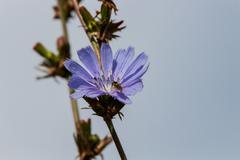Chicory flower. - stock photo
