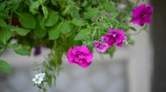 Petunia flowers in  pot outdoors in summer Stock Footage