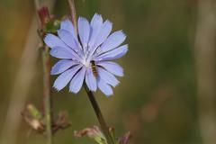 Stock Photo of Chicory flower.