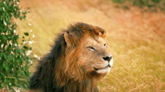 Male lion in Masai Mara Stock Footage