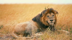Male lion in Masai Mara - stock footage