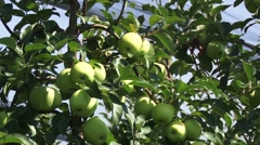 Green apples in an orchard Stock Footage