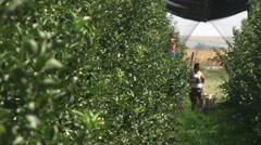 Apple orchard picking season Stock Footage