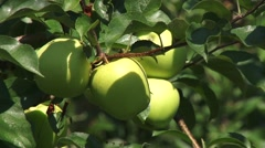 Golden delicious apples - zoom out Stock Footage