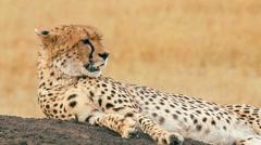 Male cheetah in Masai Mara - stock footage
