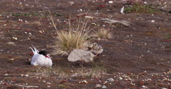 Arctic Tern and Chick on Nest on Nye Aselund Stock Footage