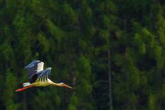 Flying Large White Stork Bird. - stock photo
