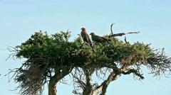 Tawny Eagle, Masai Mara Stock Footage
