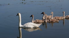 Swan family on the lake Stock Footage