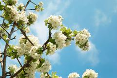 White apple-tree flowers Stock Photos