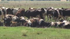 Cows grazing and watering in the countryside Stock Footage