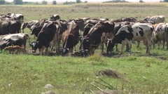 Cows watering in the field Stock Footage