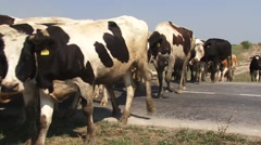 Cows crossing the road, cowbells are ringing Stock Footage