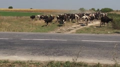 Herd of cows go to pasture Stock Footage