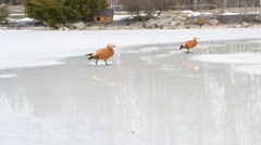 Two ruddy shelducks walk on melting ice of partly frozen pond Stock Footage