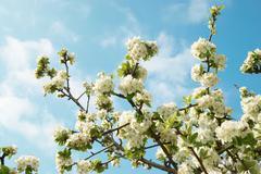 White apple-tree flowers - stock photo