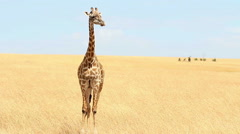 Giraffe in Masai Mara Stock Footage
