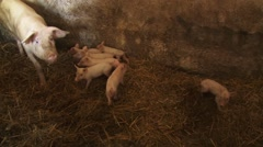 Sow and piglets in pigsty Stock Footage