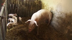 Sows and piglets Stock Footage