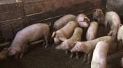Pigs in the pigpen Stock Footage