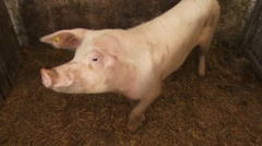 Pig in the pigpen Stock Footage