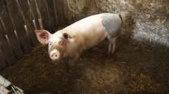 Pig in the sty Stock Footage