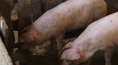 Pigs eat Stock Footage