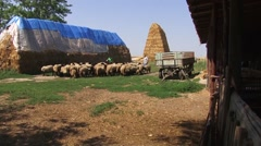 Shepherds lead the sheep into the fold Stock Footage