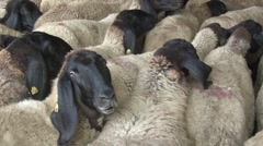 Sheep in the sheepcote Stock Footage
