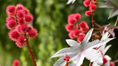 Castor-oil plant with bolls Stock Footage