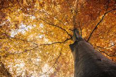 autumn fall tree with orange leaves - stock photo